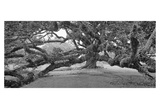Bacas Oak, panorama Giclee Print by William Guion