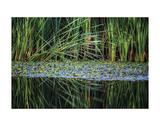 Splitting Reeds Giclee Print by Bob Larson