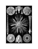 Microscopic Echinidea Prints by Ernst Haeckel