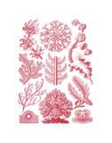 Florideae Poster von Ernst Haeckel