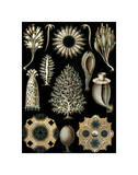 Calcispongiae Posters by Ernst Haeckel