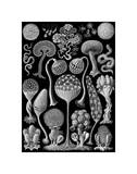 Microscopic Mycetozoa Prints by Ernst Haeckel