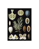 German Educational Plate: Olea Europaea Posters
