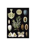 German Educational Plate: Olea Europaea Prints