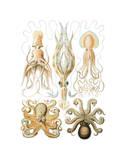 Gamochonia Plakater af Ernst Haeckel