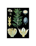 German Educational Plate: Laurus nobilis Linna Prints
