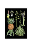 German Educational Plate: Pineapple Posters