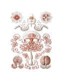 Anthomedusae Art by Ernst Haeckel