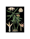 German Educational Plate: Zingiber officinale Roscoe Poster