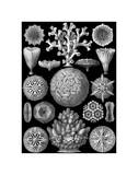 Microscopic Hexacoralla Print by Ernst Haeckel