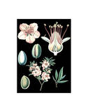 German Educational Plate: Prunus amygdalus Poster