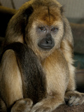 National Zoological Park: Black Howler Monkey Photographic Print