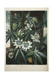 Smithsonian Libraries: The Common Blue Passion Flower by Robert John Thornton Giclee Print