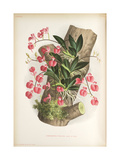 Smithsonian Libraries: Comparettia Falcata Poepp. Et Endl by Jean Jules Linden Giclee Print