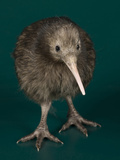 National Zoological Park: Brown Kiwi Photographic Print