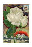 The Only White Ever-Blooming Hardy Climbing Rose Giclee Print