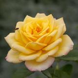 Roses: Gold Medal (Grandiflora) Photographic Print