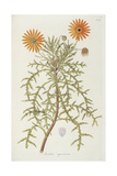 Smithsonian Libraries: Arctotis squarrosa Giclee Print