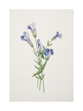 Smithsonian Libraries: Fringed Gentian, Plate 336 from North American Wild Flowers Giclee Print