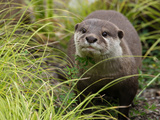 National Zoological Park: Asian Small-clawed Otter Photographic Print