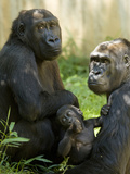 National Zoological Park: Lowland Gorilla Photographic Print
