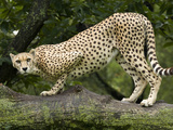 National Zoological Park: Cheetah Photographic Print