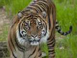 National Zoological Park: Sumatran Tiger Photographic Print