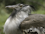 National Zoological Park: Kori Bustard Photographic Print
