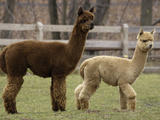 National Zoological Park: Alpaca Photographic Print