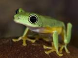National Zoological Park: Lemur Frog Photographic Print
