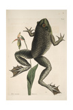 Smithsonian Libraries: The Bull Frog by Mark Catesby Giclee Print