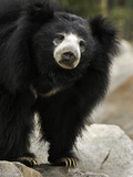 National Zoological Park: Sloth Bear Photographic Print