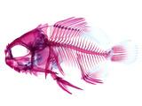 Coradion Fish Fotografická reprodukce