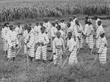 Juvenile Southern Chain Gang Convicts at Work in the Fields, Ca. 1903 Photographie