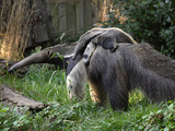 National Zoological Park: Giant Anteater Photographic Print