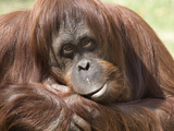 National Zoological Park: Orangutan Fotografisk tryk