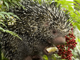 National Zoological Park: Prehensile-tailed Porcupine Photographic Print