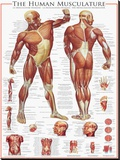 The Muscular System Stretched Canvas Print