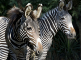 National Zoological Park: Grevy's Zebra Photographic Print