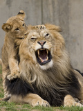 National Zoological Park: African Lion Photographic Print