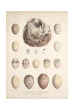 Smimthsonian Libraries: Nest of Acrulocephalus Familiaris Giclee Print