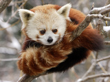 National Zoological Park: Red Panda Fotografiskt tryck