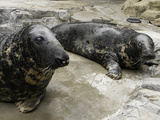 National Zoological Park: Gray Seal Photographic Print