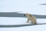 Polar Bear Breaks Through Thin Arctic Ocean Ice at Height of the Summer Melt, 2009 Photo