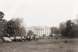 Sheep Grazing on the White House Lawn. During World War 1 from 1916 to 1919 Print