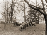 The White House Sheep Saved Lawn Care Labor and Produced Wool During WW1 Posters