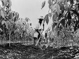 Worker Removing Weeds with a Hoe on a Rubber Plantation in Guatemala, 1940 Prints
