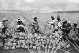 Agricultural Workers Harvesting Pineapples on a Plantation in Hawaii, Ca. 1920 Photo