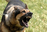 Norman a Military Working Dog During Training at Offutt AFB, Norman, Neb. 2007 Foto