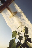 Grape Vines Dusted with Pure Elemental Sulfur to Prevent Mildew, 1970s Photo